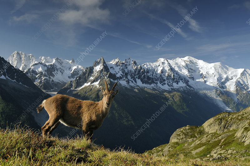 Alpine ibex in front of the Mont Blanc massif, France