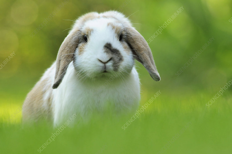 Brown and white coated Holland lop-eared domestic rabbit