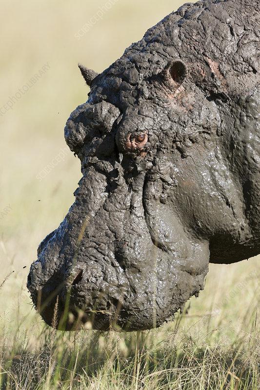 Hippo male after a mud bath