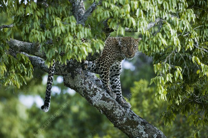 Leopard female in tree