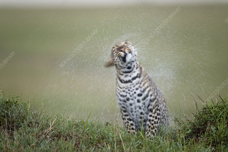 Leopard female shaking off water after the rain