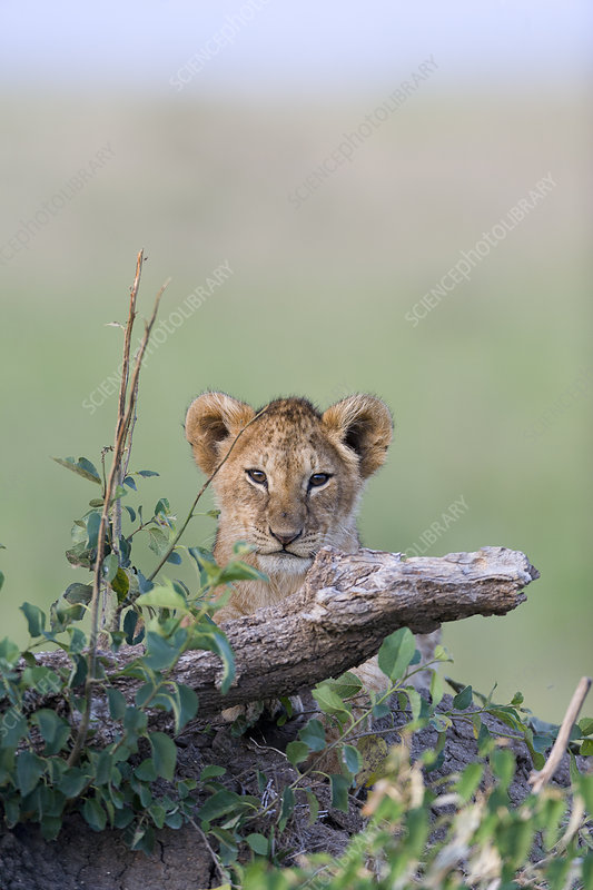 Lion cub, Masai-Mara Game Reserve, Kenya