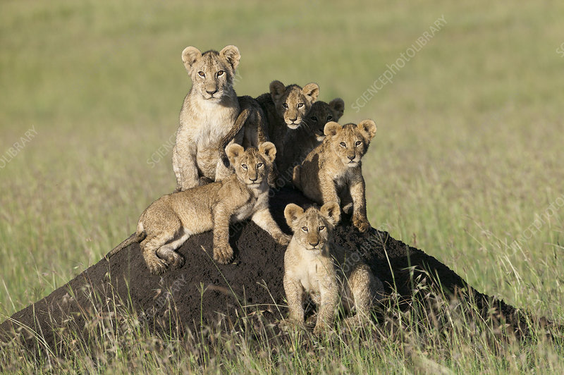 Lion cubs sitting on termite mound, Masai-Mara, Kenya