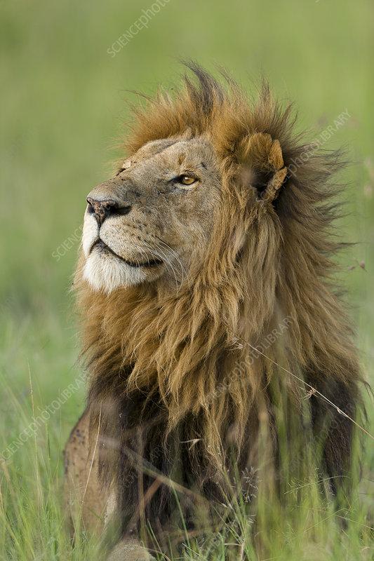 Lion male, Masai-Mara Game Reserve, Kenya