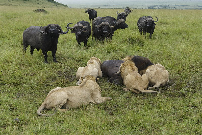 Lion males feeding on buffalo with other buffalos watching