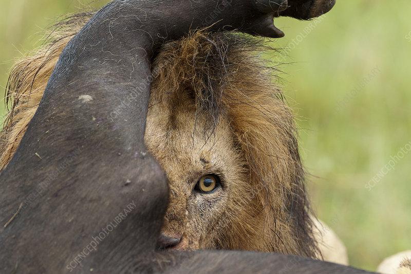 Lion male feeding on a buffalo
