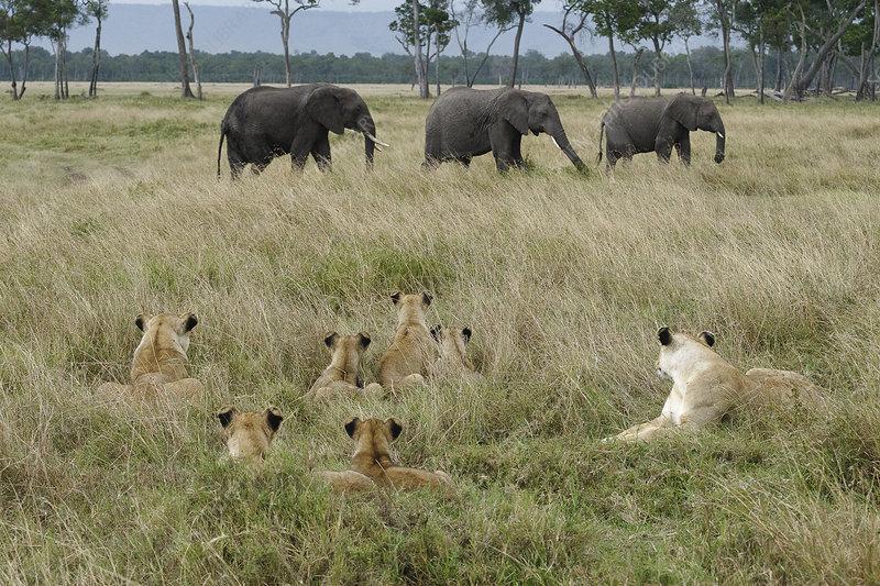 Lion pride lying in long grass watching elephants