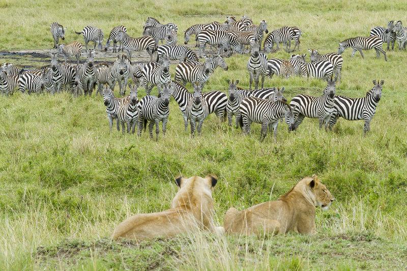 Lions watching herd of zebra, Masai-Mara Game Reserve, Kenya