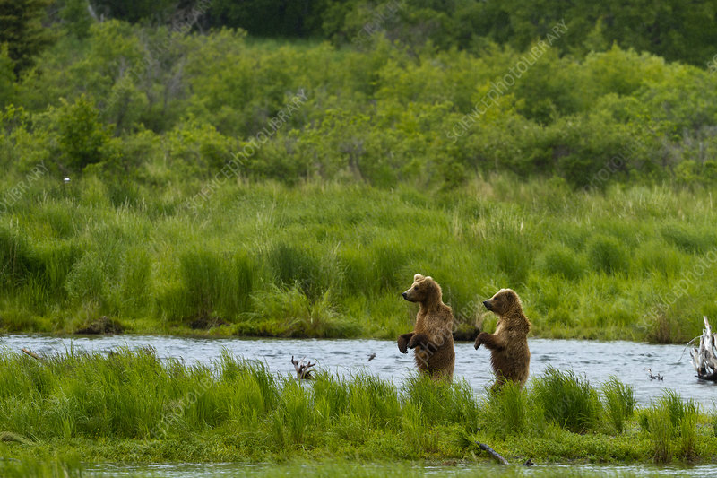 Grizzly bears looking for salmon, Brooks river, Alaska, USA