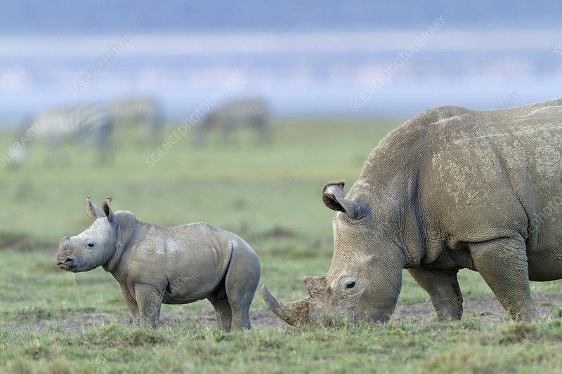 White rhino mother and baby grazing