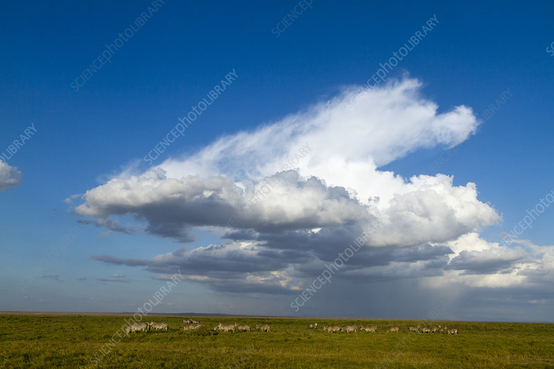 Grant's zebra herd with large cloud above