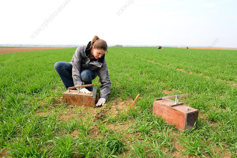 Scientists placing traps for common hamsters, France