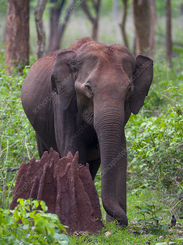 Asian Elephant female next to termite mound in forest