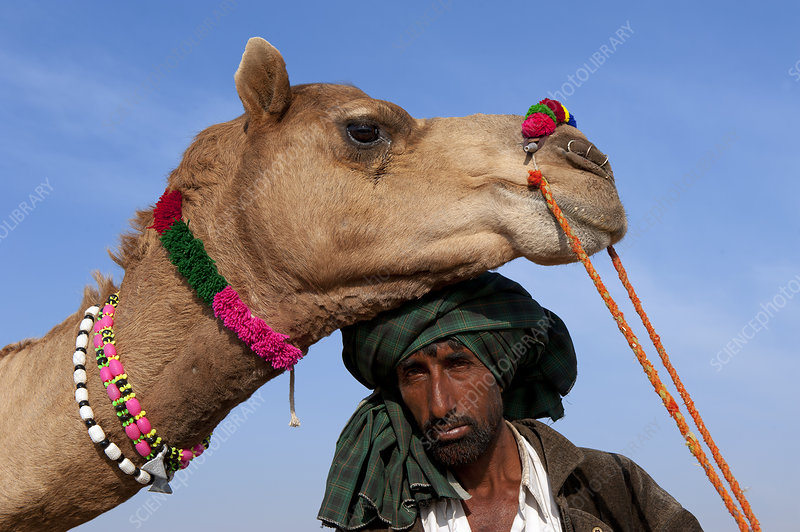 Camel herder with Dromedary camel