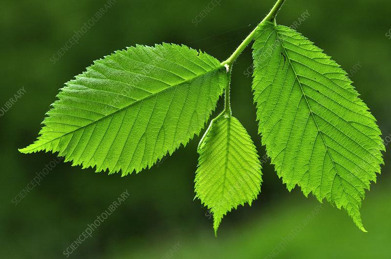 Fresh Wych elm leaves in spring. Dorset, UK
