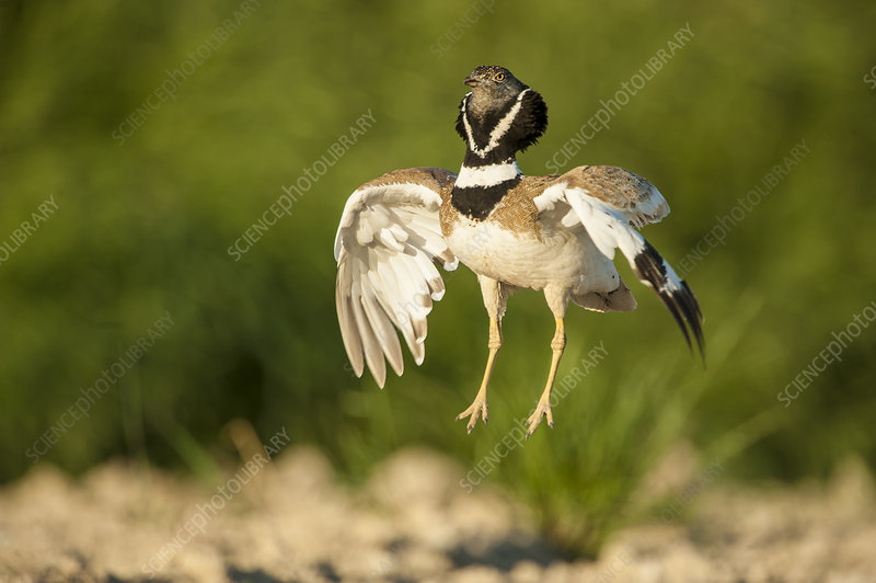 Male Little bustard displaying, Catalonia, Spain