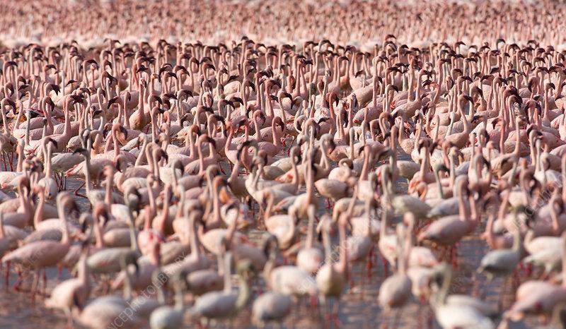 Lesser flamingo flock in Lake Bogoria, Rift valley, Kenya