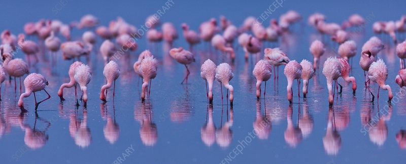 Lesser flamingo flock in lake Nakuru, Kenya