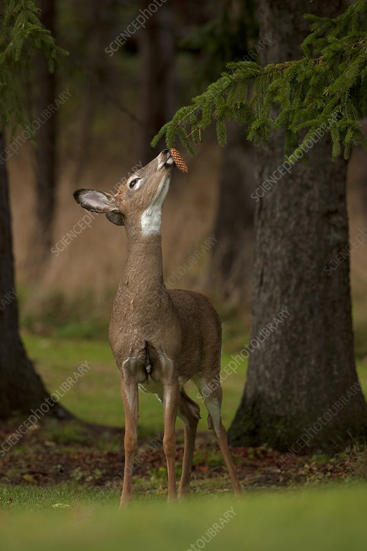 White-tailed Deer sniffing spruce cone. New York, USA