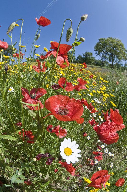 Poppies (Papaver rhoeas) in flower