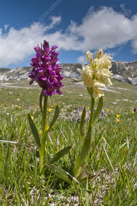 Elder flower orchid (Dactylorhiza sambucina)