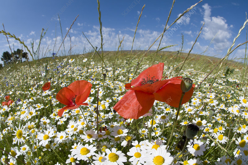 Mayweed (Anthemis sp) and Poppies (Papaver rhoeas) in flower