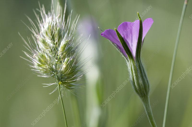 Corncockle (Agrostemma githago) in flower