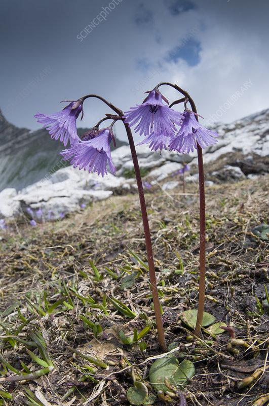 Alpine Snowbell (Soldanella alpina) in flower