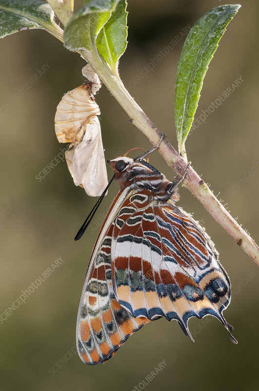 Newly emerged adult Two-tailed Pasha butterfly