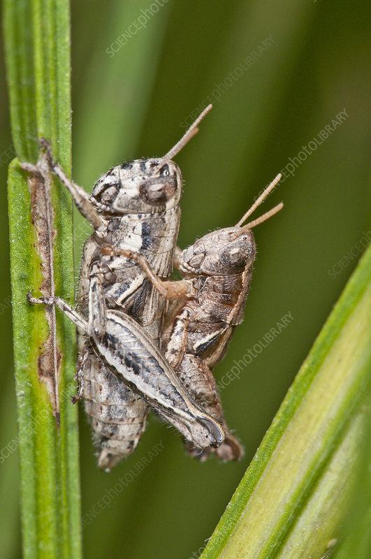 Short-horned grasshoppers mating