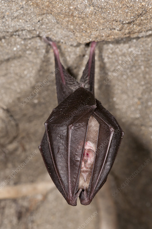 Lesser Horseshoe Bat hibernating in an Etruscan tomb, Italy