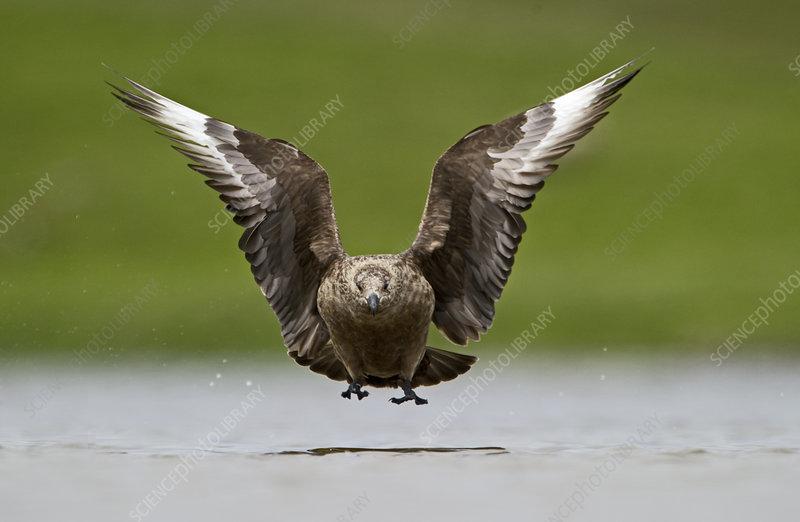 Great Skua in flight low over water