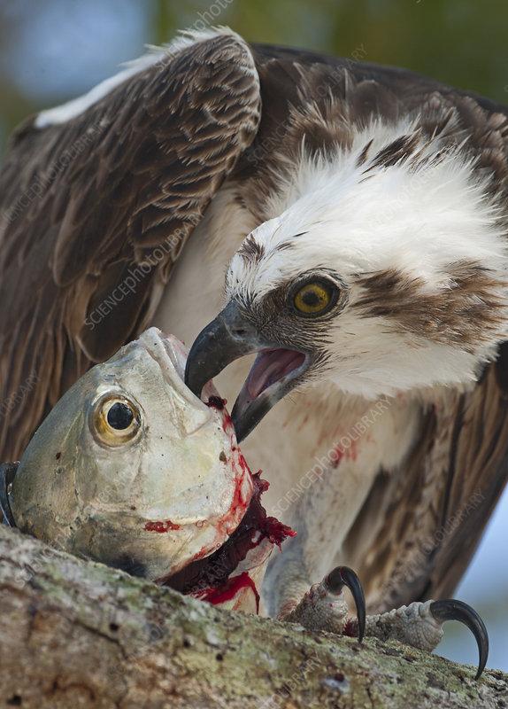 Osprey eating fish, Florida Everglades, USA