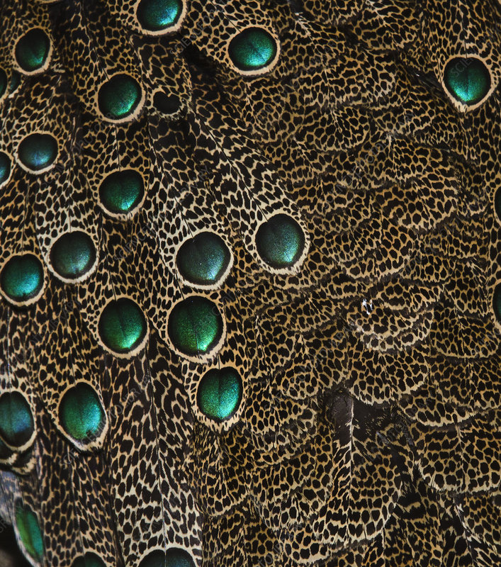 Detail of Malaysian Peacock Pheasant feathers