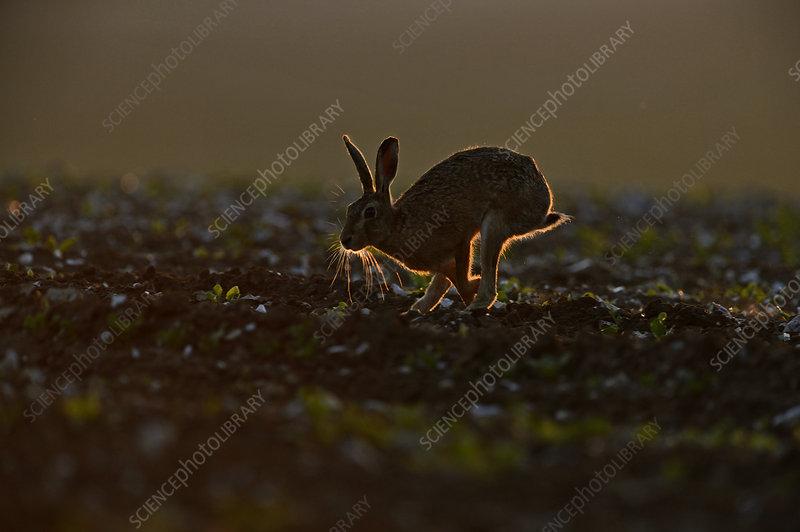 Brown Hare running, backlit in late evening, Norfolk, UK