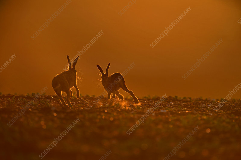 Brown Hare buck chasing doe, in late evening, Norfolk UK