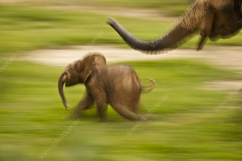 African Forest Elephant mother playing with her calf