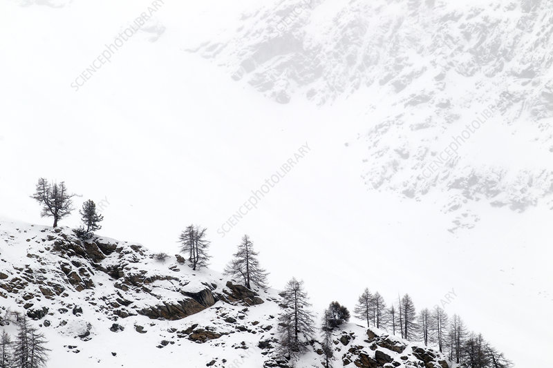 Snow covered mountain slopes with pine trees