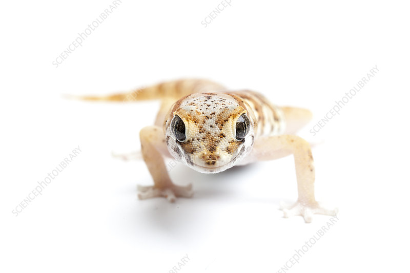 Marico Thick-toed Gecko