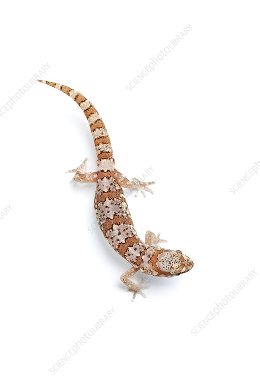 Marico Gecko, Namaqualand, Northern Cape, South Africa