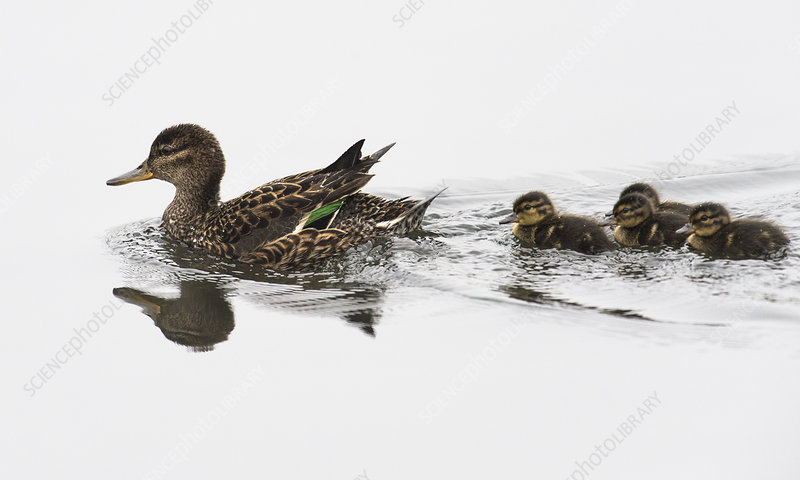 Common Teal female with ducklings, Finland