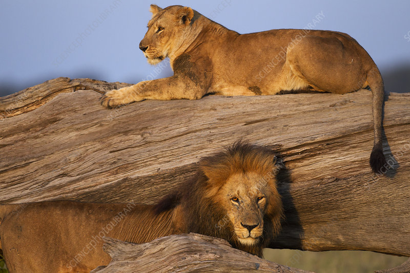 Lioness resting on a fallen tree with a courting male