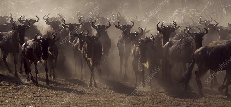 Eastern White-bearded Wildebeest herd