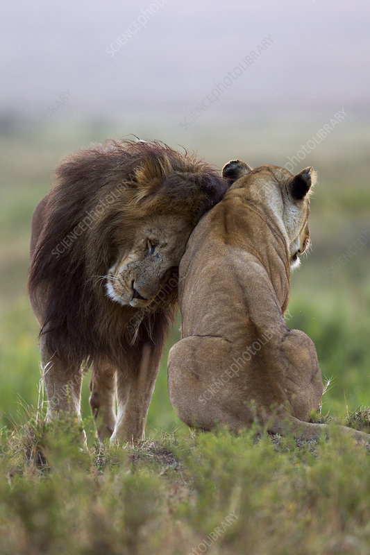 Lion male nuzzling lioness