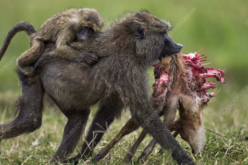 Olive baboon female with infant on back, carrying carcass
