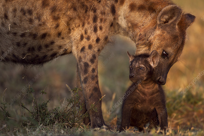 Spotted hyena preparing to carry a pup