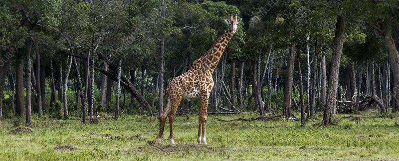 Masai giraffe male in front of woodland