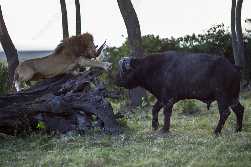 Male lion in confrontation with Cape buffalo