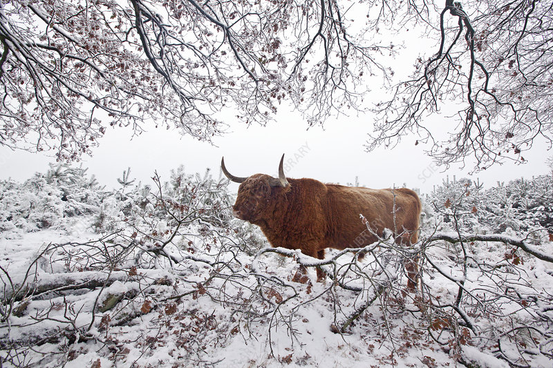 Highland cattle in winter landscape