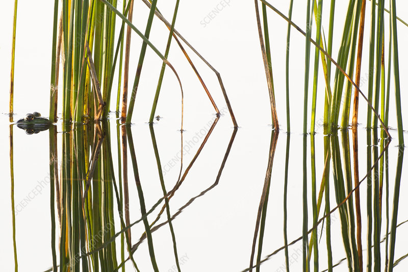 Green frog hiding in reeds